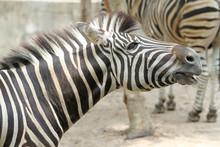 Close Up Head The Burchell Zebra In Farm At Thailand