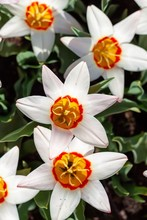 Top View Of A Fully Bloomed Wh...