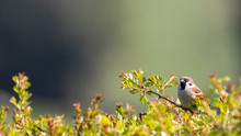 A Male Sparrow Perched On The Top Of A Hawthorn Hedgerow Against A Soft Focus Background