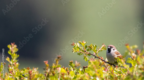 Cuadros en Lienzo A male sparrow perched on the top of a hawthorn hedgerow against a soft focus ba