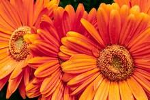 Closeup Shot Of Beautiful Oran...
