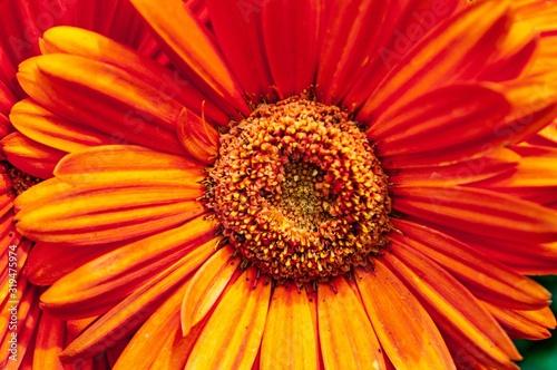 Photo Closeup shot of a beautiful orange-petaled Barberton daisy flower