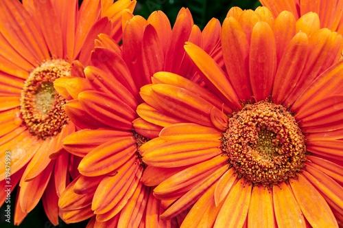 Closeup shot of beautiful orange Barberton daisy flower Canvas Print