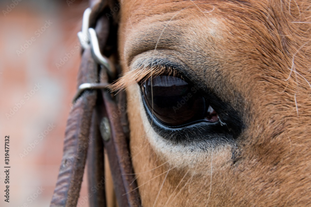 Fototapeta Closeup shot of a horse eye with a blurred background