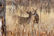 Doe Whitetail Deer In Fall In Colorado