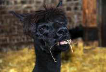 Alpaca Chewing Hay In Barn