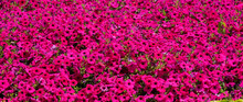 Background Of Pure Pentunias