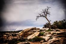 Twisted Tree In Desert