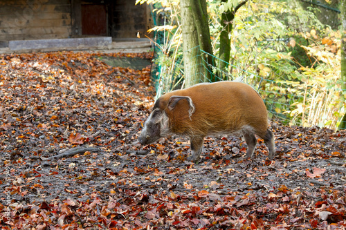 River pig (boar) in its natural environment on an autumn day Fototapete