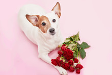 Valentines Day Romantic Background With Heart And Flowers. Valentine Card With Copy Space. Flowers Roses And Dog Jack Russell On Pink Background. Valentine's Day Greeting Card Template February 14