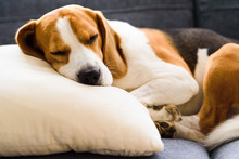Funny Beagle Dog Tired Sleeps On Pillow On Couch. Pet On Furniture Concept.