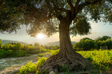 An Olive Tree Taken At Sunset ...