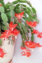 Schlumbergera Red Flowers. Chr...