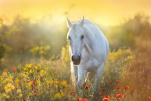 White Horse Portrait In Poppy ...