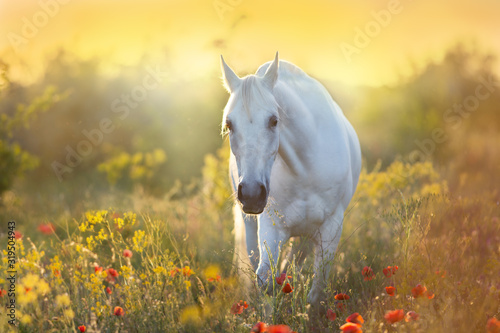Fototapeta White horse portrait in poppy flowers at sunrise light obraz