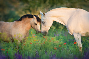 Fototapeta Koń Horse and pony close up portrait in flowers meadow