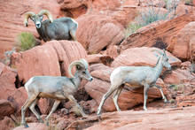 A Herd Of Bighorn Sheep Look F...