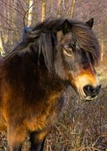 Shetland Pony Grazing Portrait