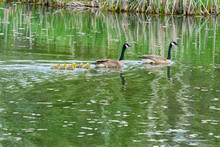 A Family Of Canadian Geese In A Marsh Or Pond.