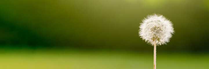 Panoramic view of a dandelion with a green blurred background