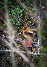 Northern Cardinal Ready For Fl...