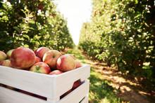 Fresh Apples In Crate In An Ap...