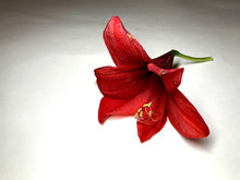 Deep Red Flower Of Amaryllis On White Background With Shades And Copy Space.