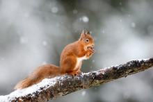 UK, Scotland, Red Squirrel (Sc...