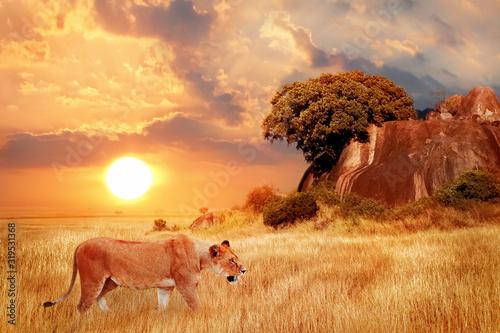 Samica lwa w afrykańskiej sawannie na tle pięknego zachodu słońca. Park Narodowy Serengeti. Tanzania. Afryka.