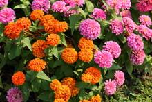 Closeup,Zinnia Elegans,Common Zinnia Flower In The Garden Of King Rama IX Park In Thailand