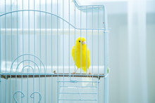 Yellow, A Small Canary, Sits In A Cage At Home
