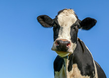 Close Up Portrait Of A Black And White Cow, With Yellow Eartags And A Collar And A Blue Sky Background.
