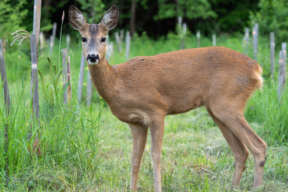 Fototapeta Roe deer in forest, Capreolus capreolus. Wild roe deer in nature.