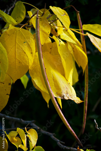 Yellow Fall Foliage Catulpa Tree
