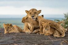 Lion Pride Babies Loving Mama ...
