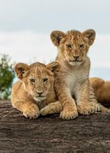 Baby Lion Cubs - Maasai Mara National Park, Kenya