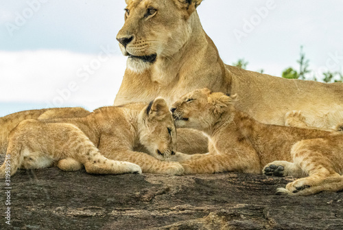 Valokuva Baby Lion Cubs Grooming Each Other with Mama Watching - Maasai Mara National Par