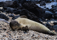 Monk Seal Laying On Beach