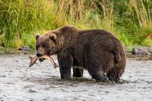 Grizzly Bear Catching Salon, Kociak, Alaska