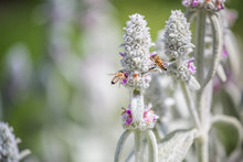 Honeybees Collect Nectar And Pollen From Stachys Byzantina, Lamb's-ear, Woolly Hedgenettle, Stachys Lanata, Olympica Fluffy White Plants With Purple Flowers On Flowerbed In Garden Near Apiary.