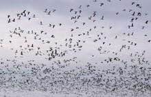 Big Flock Of Geese