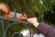 Nice Squirrel Eating Nut From ...