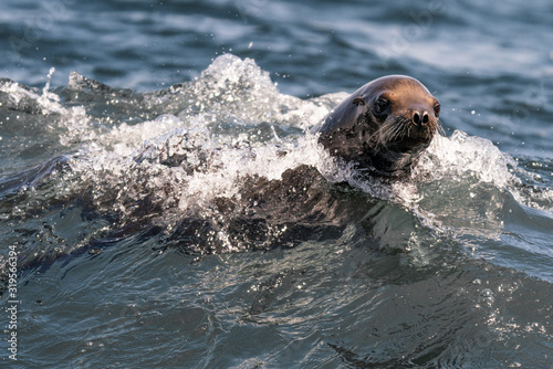 Photo Sea Lion in the Waves - Monterey Bay, California