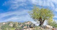 Carob Camp In Majorca