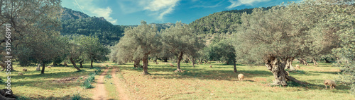 Fotomural olive grove on the island of Mallorca