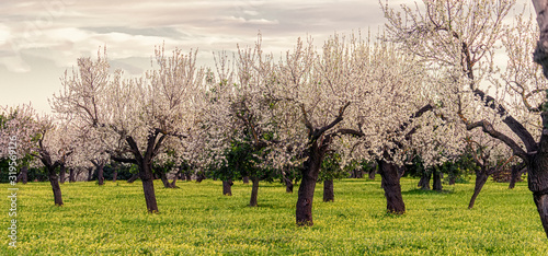Cuadros en Lienzo almond trees