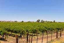 Vineyard On Kannon Island, Ora...