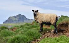 Icelandic Lamb On Heimaey, The Largest Island In The Vestmannaeyjar (westman Islands) Archipelago, ICELAND.