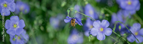 Fotografija Honey bee collect nectar from Blue large flowers of garden Linum perenne, perennial flax, blue flax or lint against sun