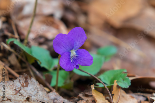 Blue Violet close-up